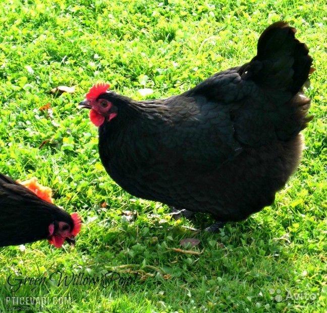Австралорп порода кур – описание, фото и видео