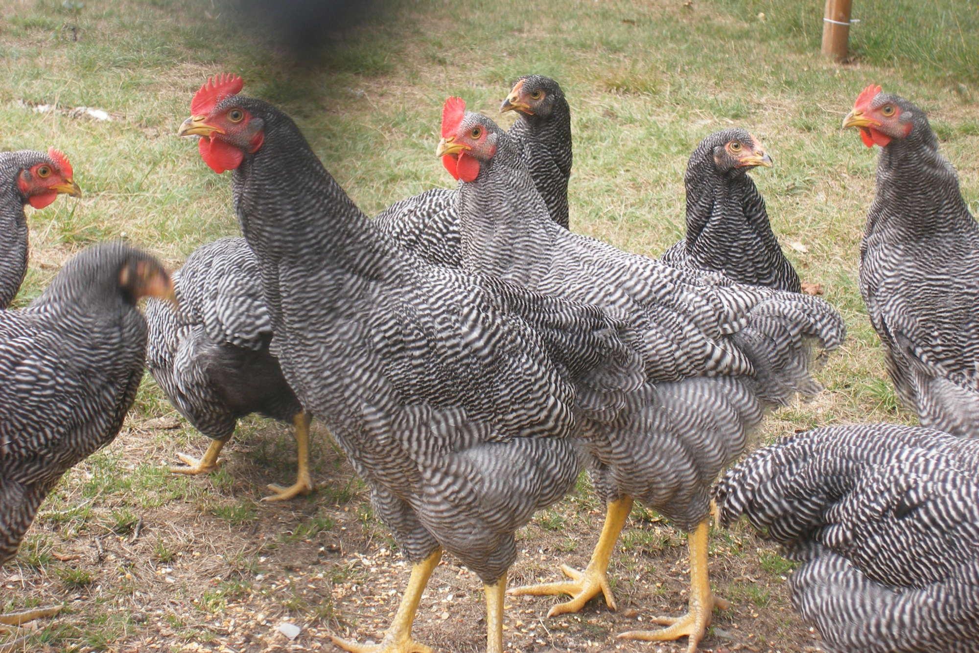 Вестфальский Тотлегер порода кур – описание, фото и видео