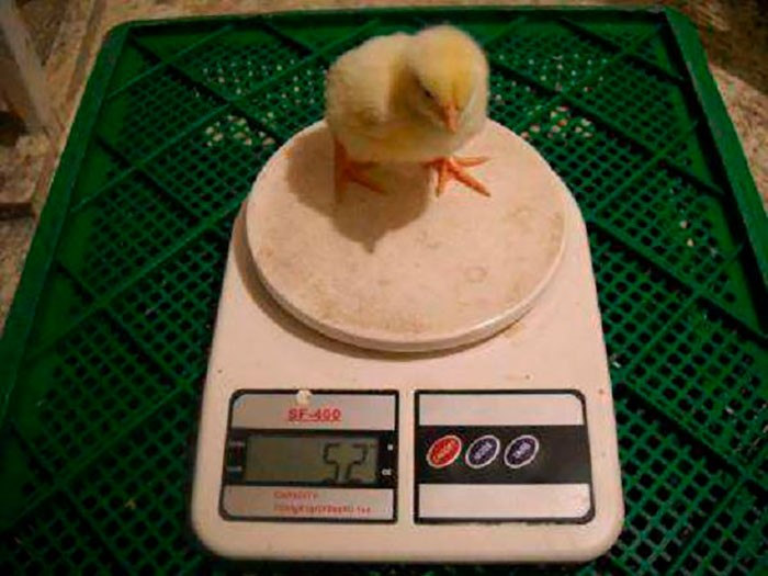 Простой способ взвешивать цыплят без стресса