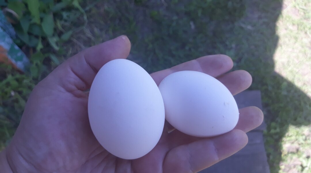 Почему курица несет мелкие яйца?