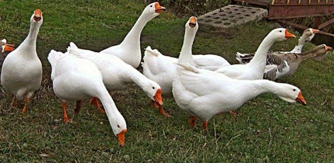 Холмогорские гуси – описание породы, особенности содержания, фото