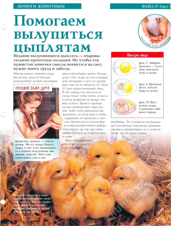 Как помочь цыпленку вылупиться и нужно ли помогать?