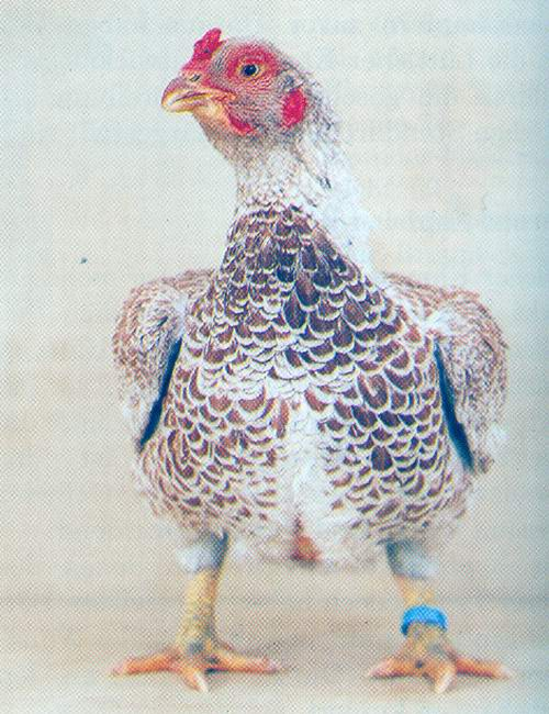 Калаханди порода кур — описание и фото