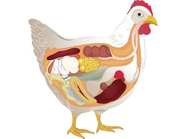 Анатомия курицы несушки в картинках и видео
