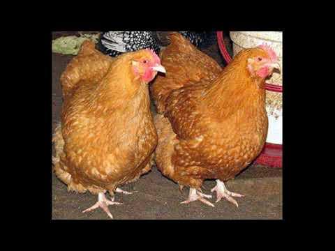 Куры Фокси Чик - мясо-яичный кросс. Описание, содержание, уход, кормление, отзывы