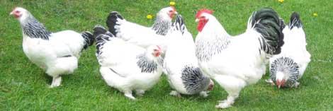 Зундхаймер порода кур – описание, фото и видео