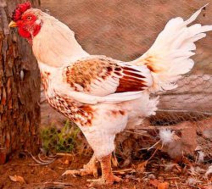 Индийская порода кур – описание бойцовой, фото и видео