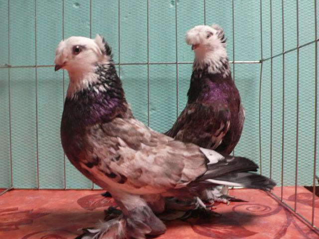 Особенности породы Благодарненских голубей