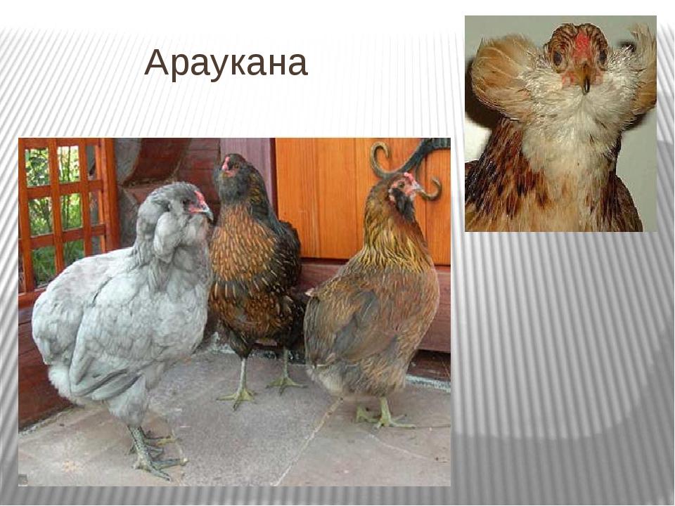 Араукана порода кур – описание, содержание, фото и видео