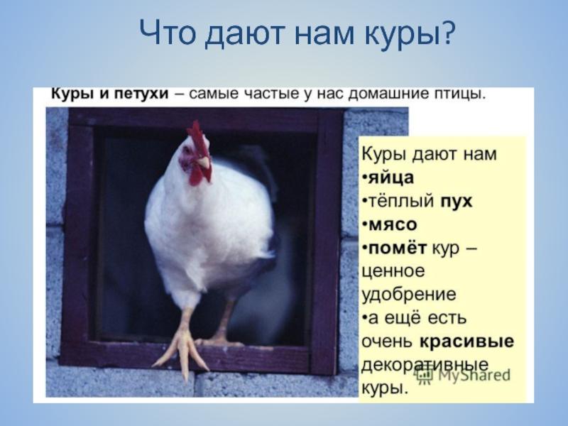 Почему курицы не летают?