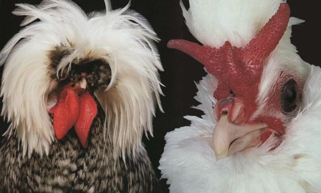 Брабантские куры с рожками – описание с фото и видео