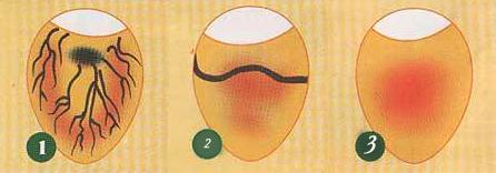 Как определить оплодотворенное яйцо у кур или нет? Способы проверки с помощью овоскопа и без него