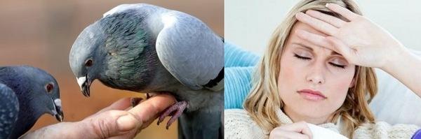 Какие болезни переносят голуби и чем это опасно для человека