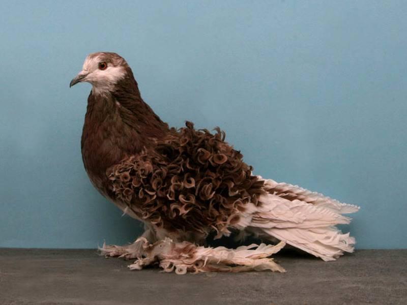 Какие бывают декоративные голуби, их особенности и происхождение