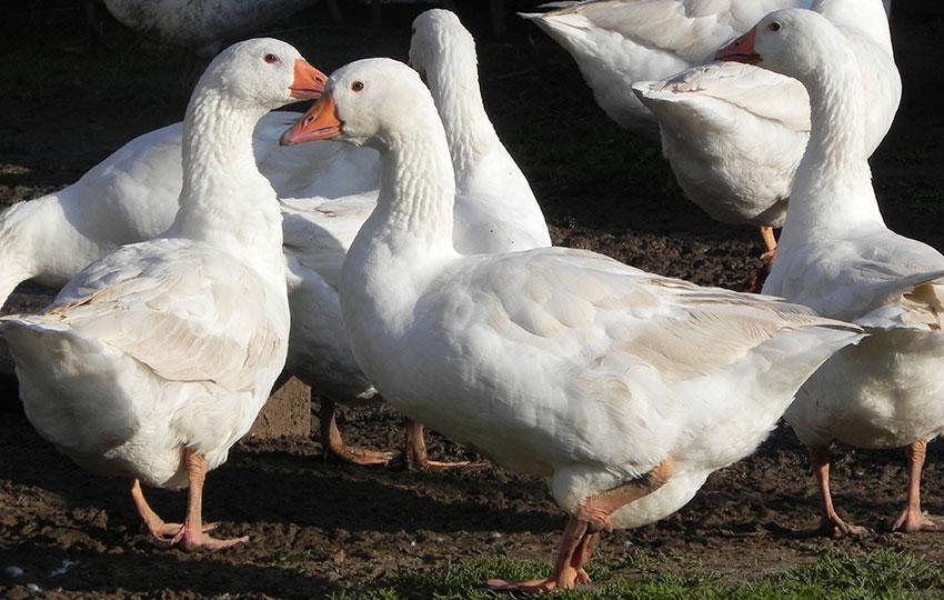 Описание породы гусей Датский легарт, фото, отзывы владельцев