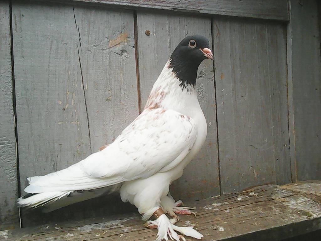 Особенности бойных голубей и описание их видов
