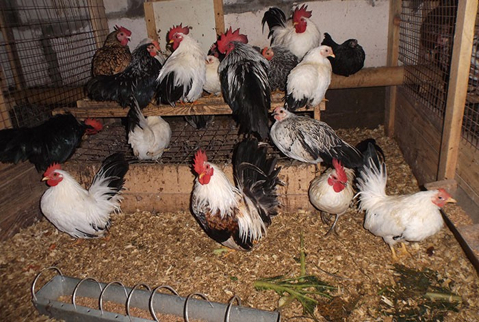Шабо порода кур – описание, фото, видео Японской Бентамки