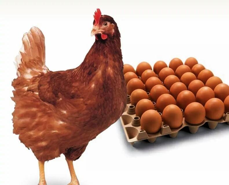Вельзумер - мясо-яичная порода кур. Описание, содержание, выращивание и уход, кормление, инкубация