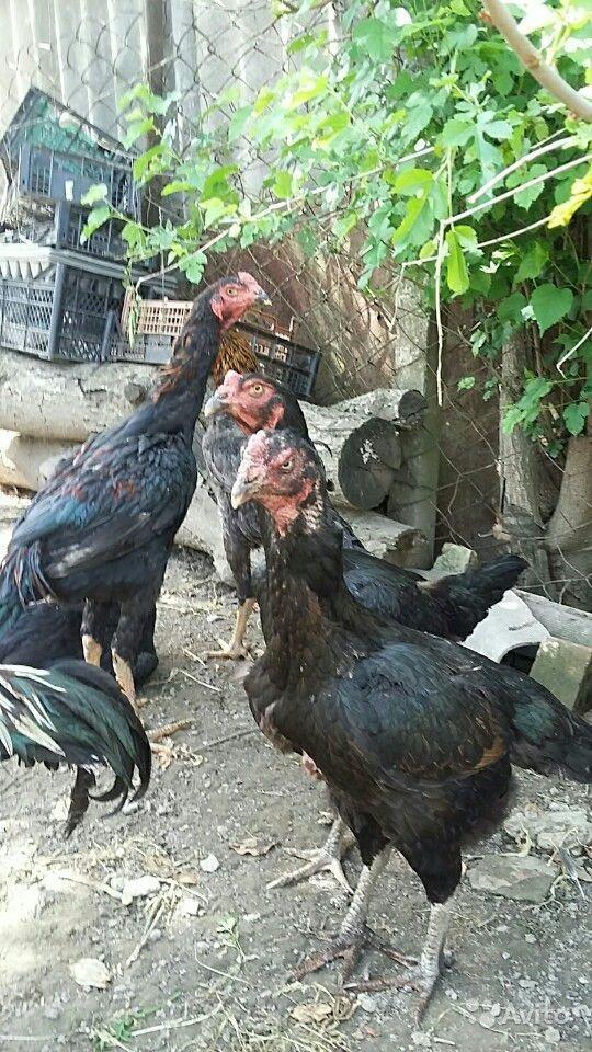 Азиль - бойцовая порода кур. Описание, характеристики, нюансы содержания и правила кормления