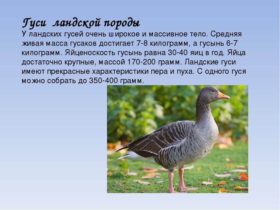 Гуси породы Линда, или Горьковские – описание породы, фото, отзывы