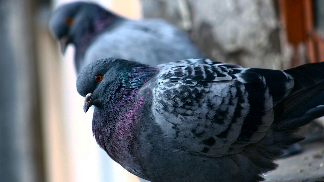 Какие птицы больше всего похожи на голубя и как их отличить