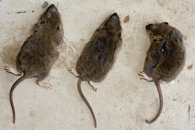 Как бороться с крысами и мышами в частном доме и 45 советов
