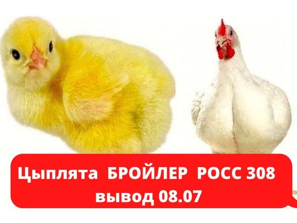 Как дед выводил цыплят в шапке и выращивал цыплят
