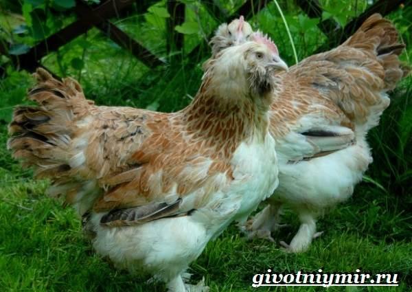 Порода кур Фавероль – от экстерьера до кормления французской птицы