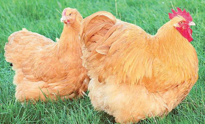 Велбар порода кур – описание с фото и видео
