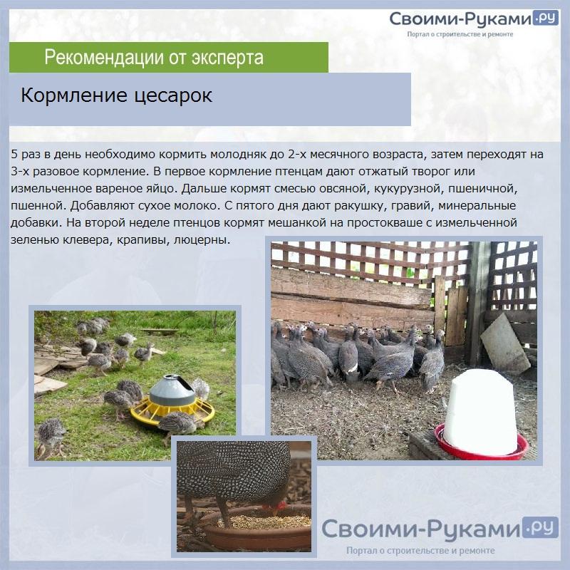 Кормление цесарок и их птенцов