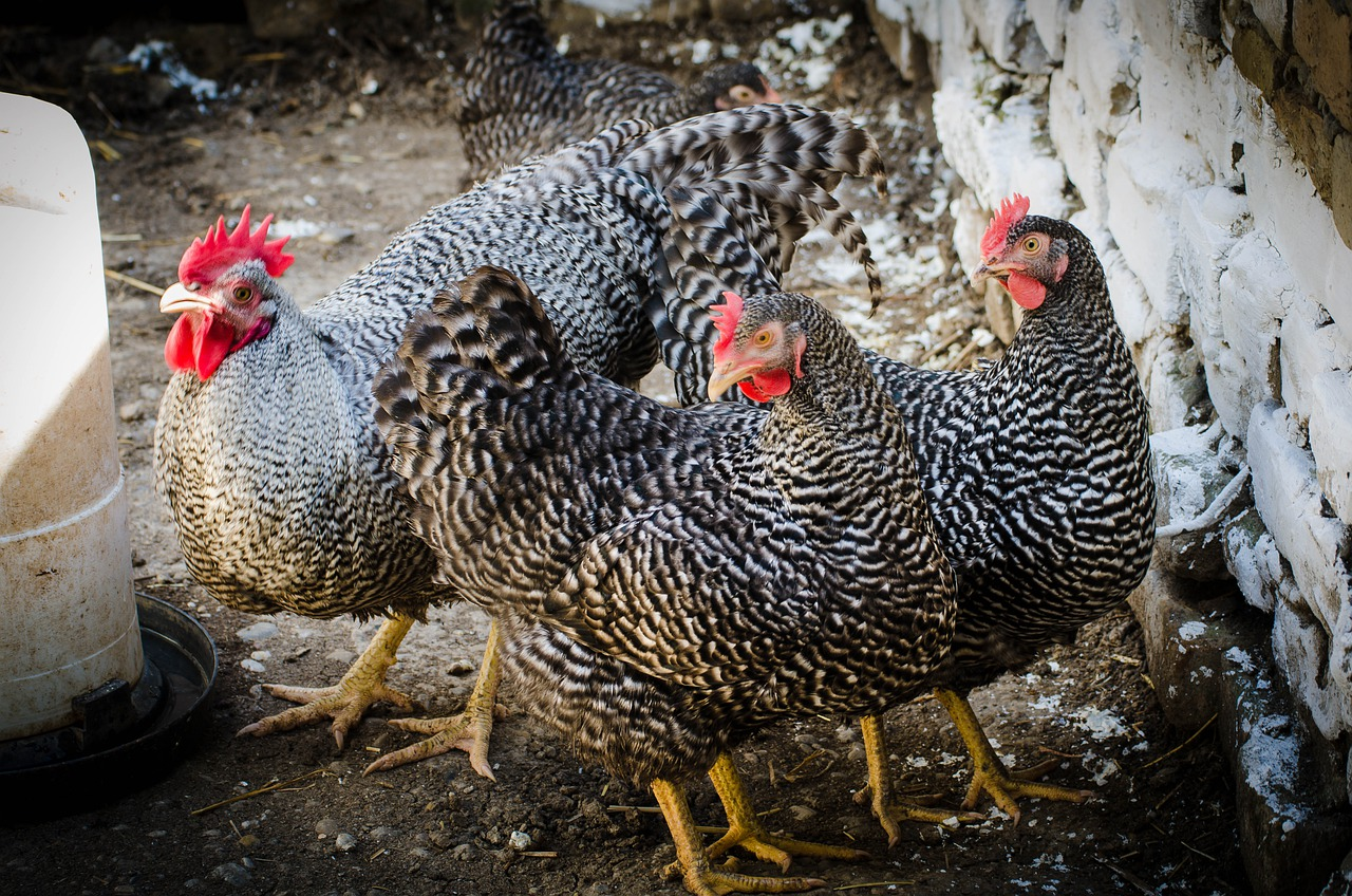 Амрокс - мясо-яичная порода кур. Характеристики, описание, особенности содержания и кормления