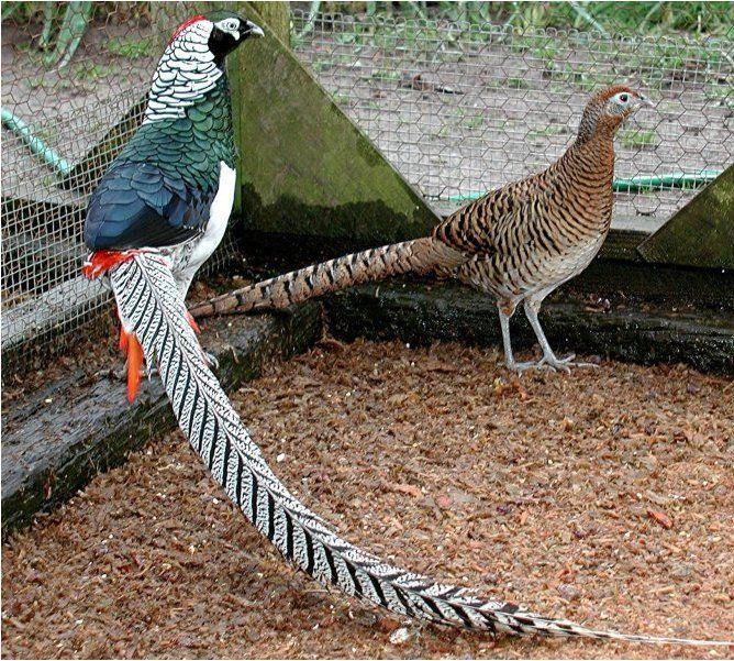 Алмазный фазан: разведение и содержание в домашних условиях
