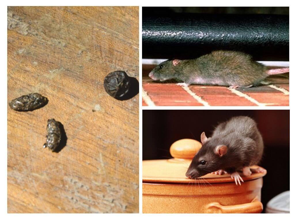 Помет от крыс и мышей обнаружен в курятнике