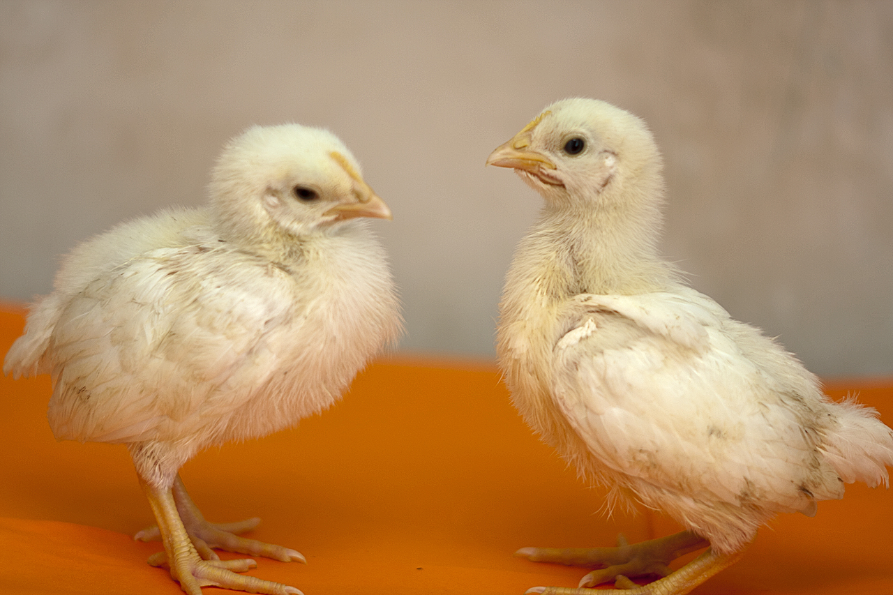Ленинградская белая - мясо-яичная порода кур. Описание, особенности разведения и выращивания, кормление, инкубация