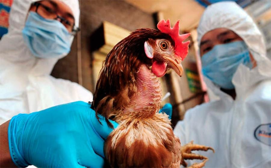 Птичий грипп h5n1 что это такое и чем опасен для домашних кур
