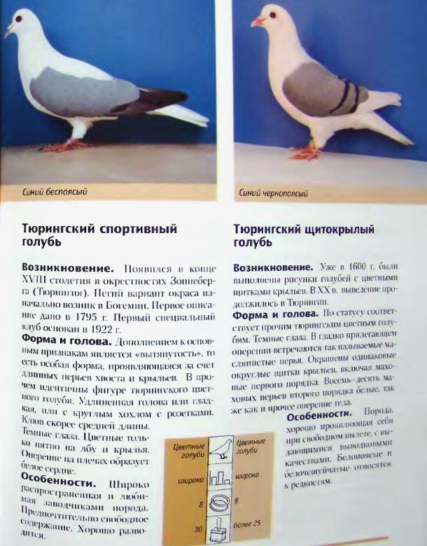 Что нужно знать о физиологии голубей: сколько в среднем живут, температура тела, особенности
