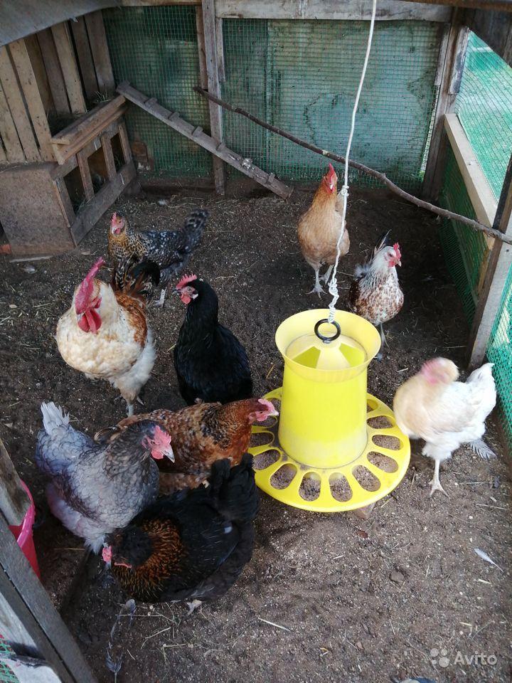 Содержание кур несушек в домашних условиях зимой