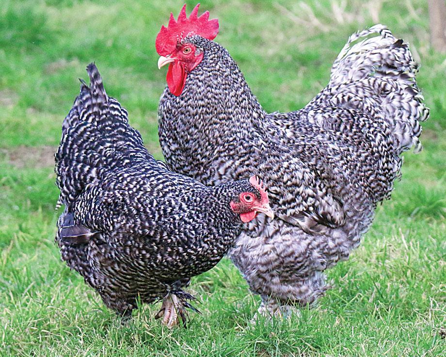Амрокс порода кур – описание, фото и видео