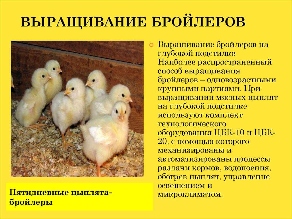 Выбираем цыплят на рынке и смотрим с головы до ног