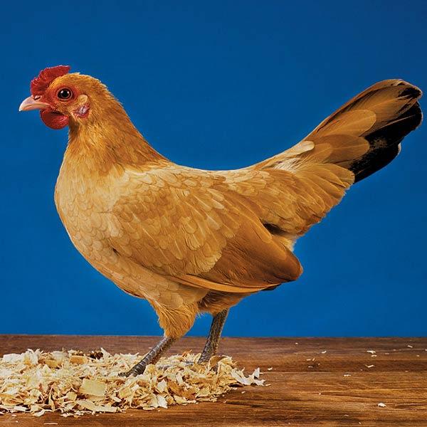 Чешская золотистая - яичная порода кур. Описание, характеристики, содержание и уход, кормление