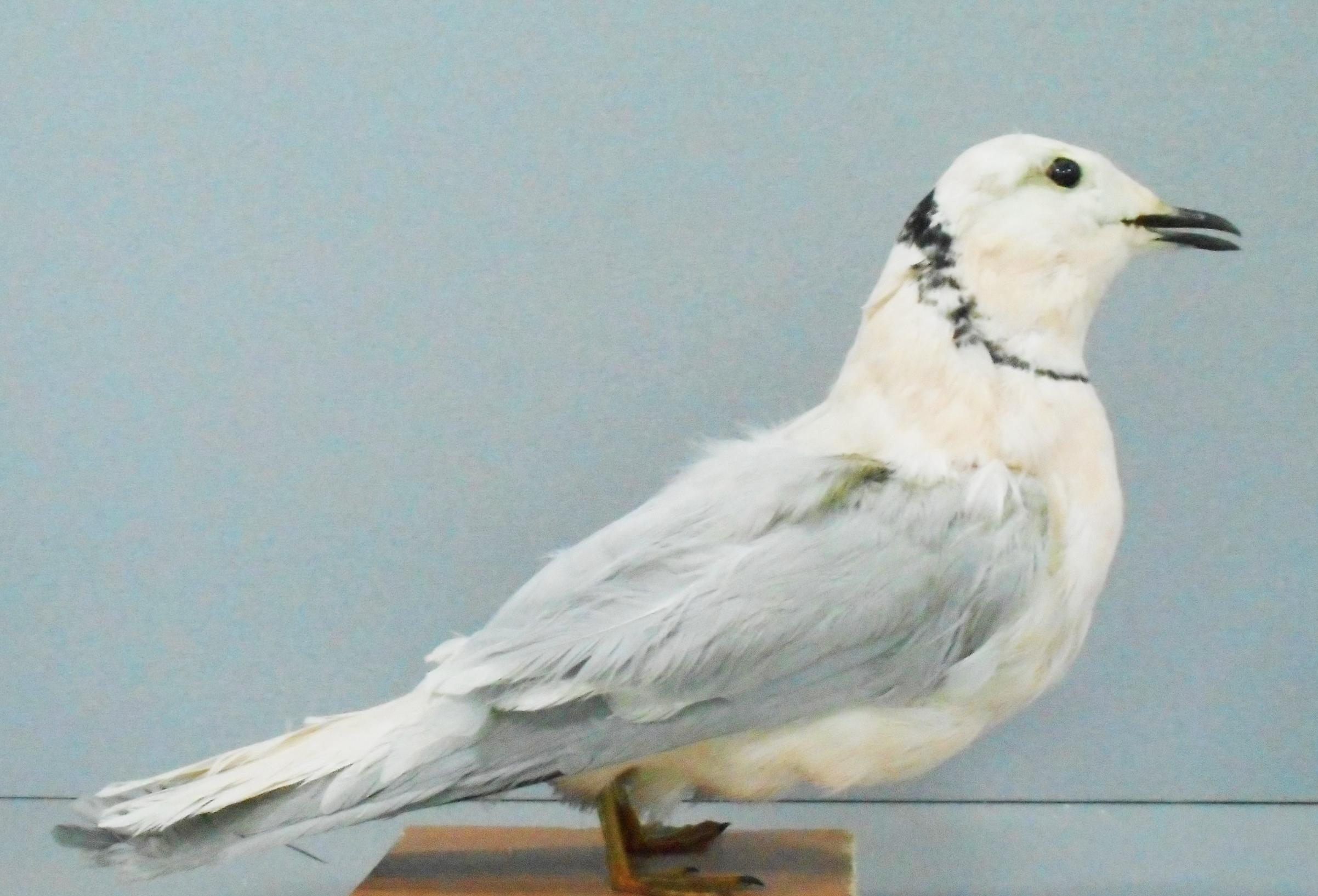 Что нужно знать о голубе китайская чайка перед приобретением
