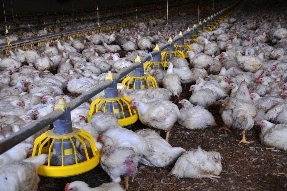 Соя курам несушкам, польза и вред с ГМО или без