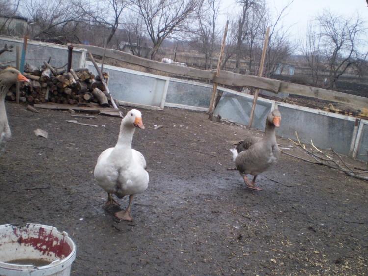 Выращивание гусей в домашних условиях для начинающих