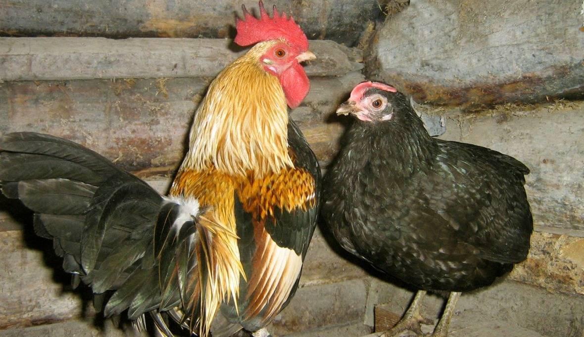 Кадакнат порода кур – описание с фото и видео