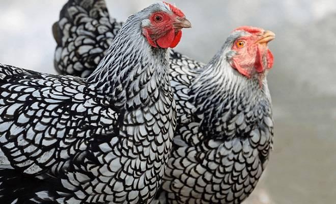 Виандот - мясо-яичная порода кур. Характеристики, описание, нюансы разведения, кормление
