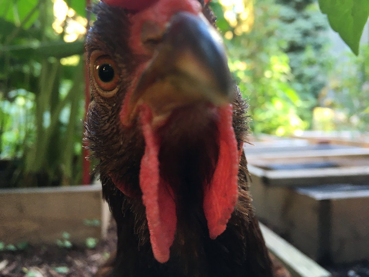Курица живет в квартире — фото и карьера несушки фотомодели