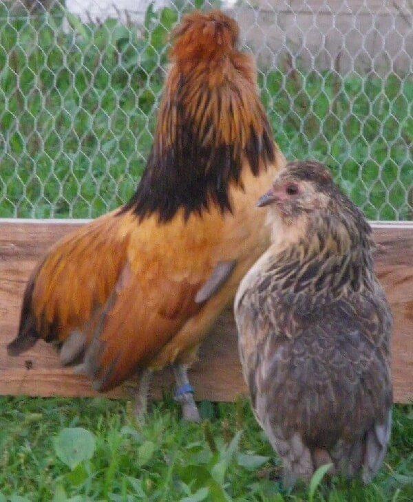 Барбу де Ватермаль порода кур – описание с фото и видео
