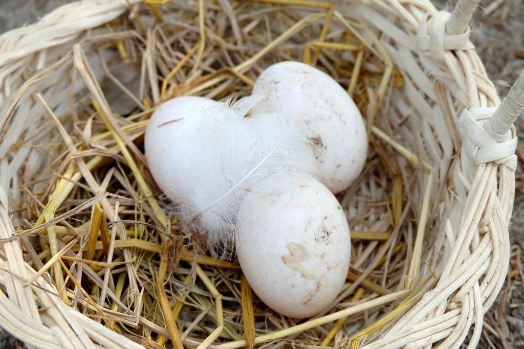 Сколько яиц несет утка