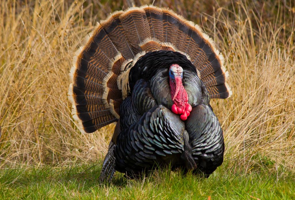 Особенности американской индейки – Бронзовой широкогрудой породы