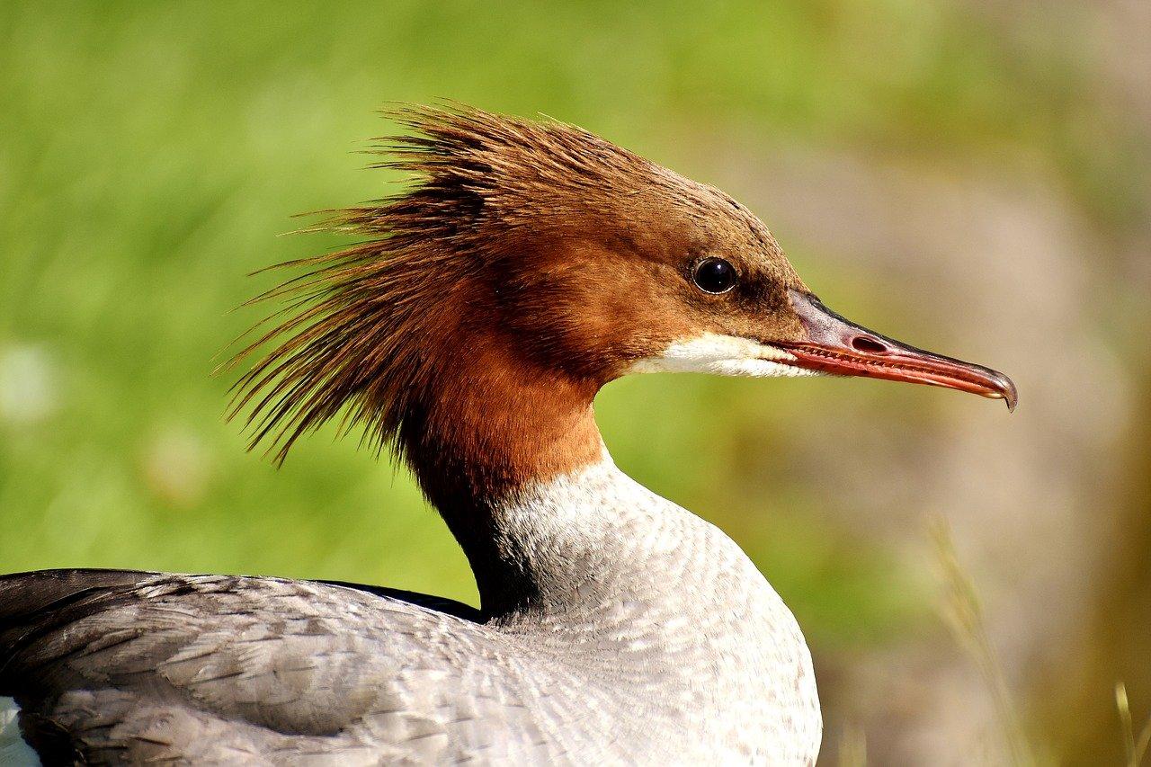Какие бывают хохлатые утки – домашние и дикие разновидности